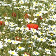 pratolina fiore