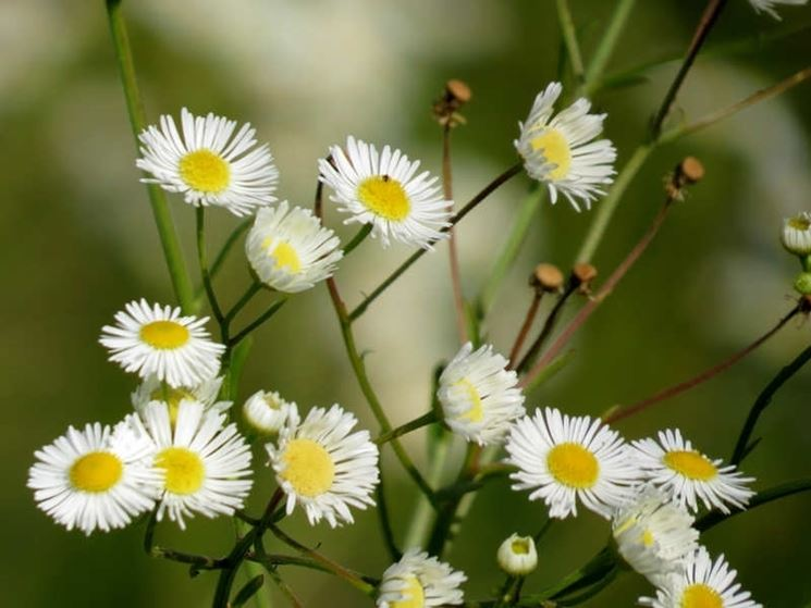 Margherite petali