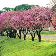 Alberi fiore prunus
