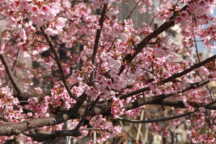 Albero frutto rosacea