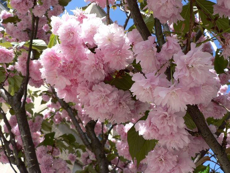 Infiorescenze piante prunus