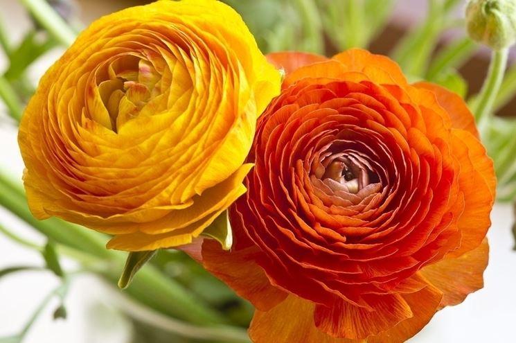 Ranuncolo dans fiori e piante ranuncolo_NG1