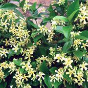 Rincospermum fiorito