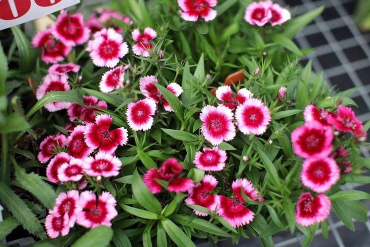 Seminare perenni a marzo speciali semina giardino for Fiori da balcone perenni