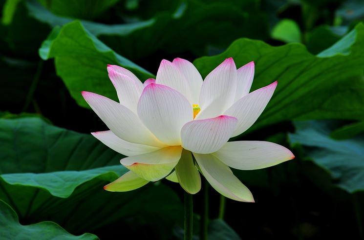 Crescita fiore loto