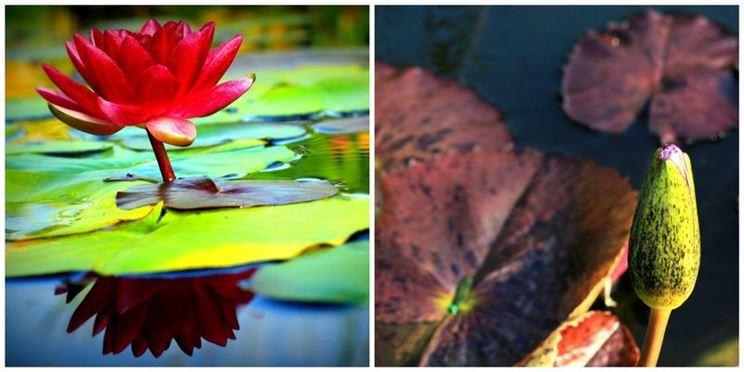 Fiore loto laghetto