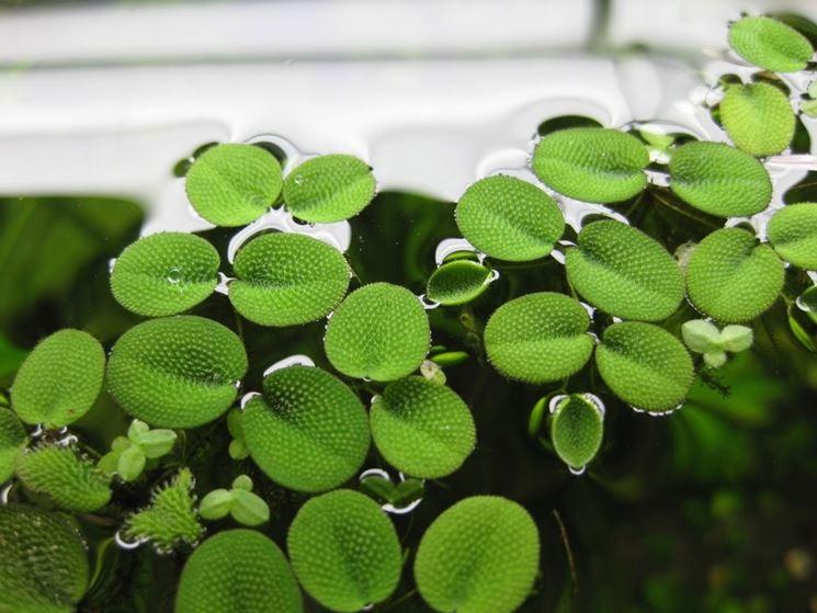 piante di acqua