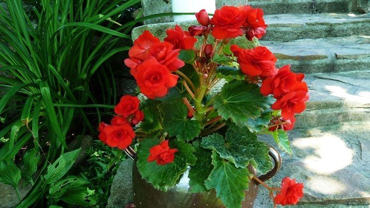 Begonia rossa