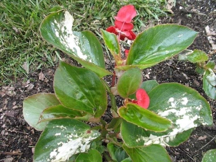 Begonia malata