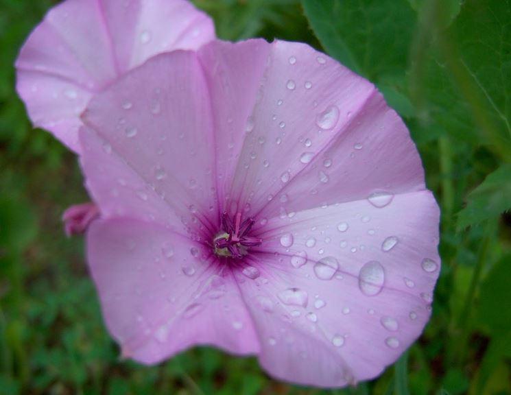 Pianta annuale fiori