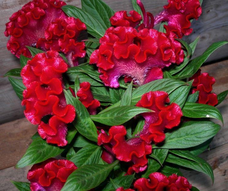 Piante ornamentali annuali