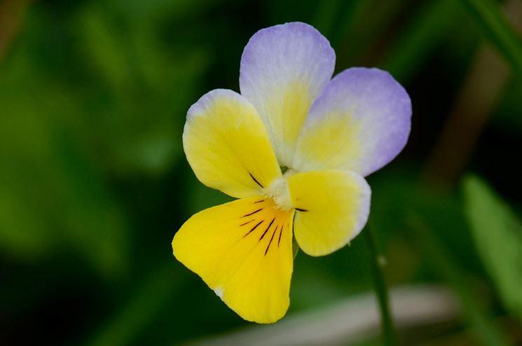 giardino di viole