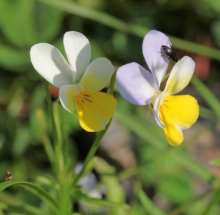Viola cornuta Helen Mount