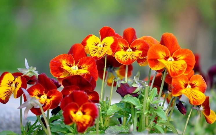 Il fiore Viola odorata