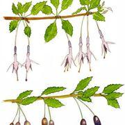 disegno botanico Fuchsia magellanica