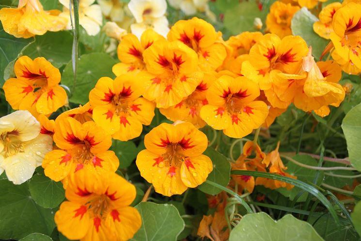 fiori nasturzio
