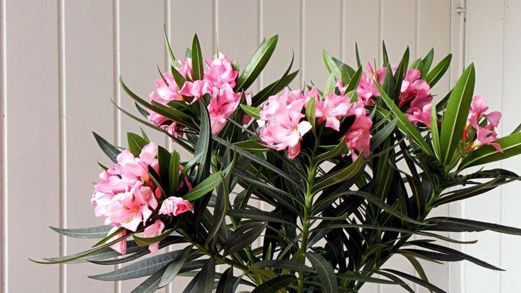 Una pianta di oleandro fiorita