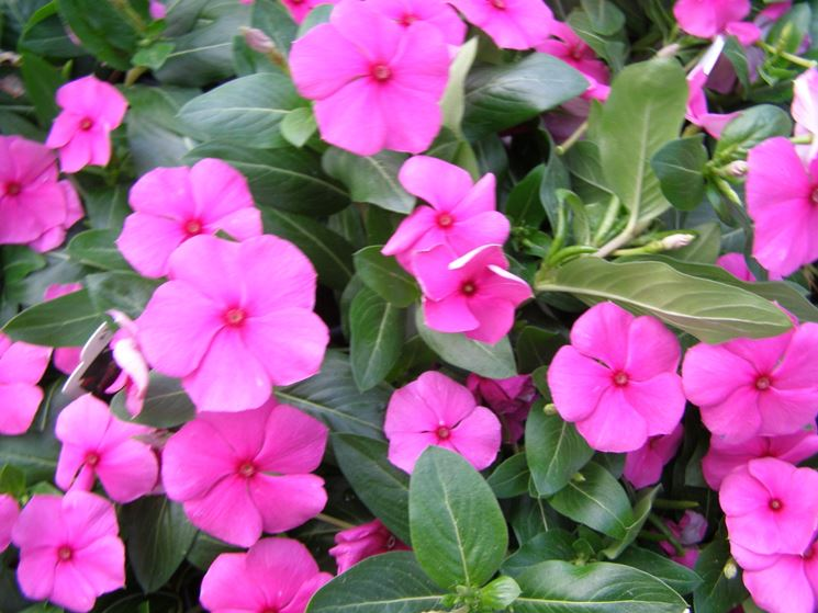 Pervinca piante annuali coltivare la pervinca for Blu pervinca