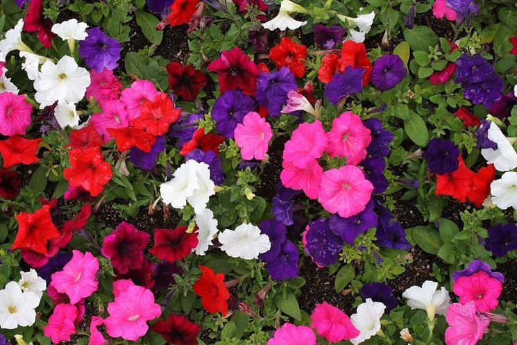 Petunie fioritura
