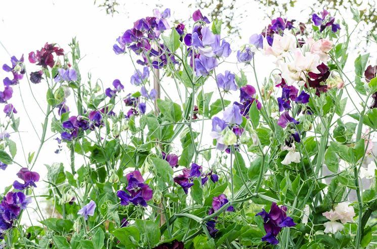 Fiore cicerchia odorosa