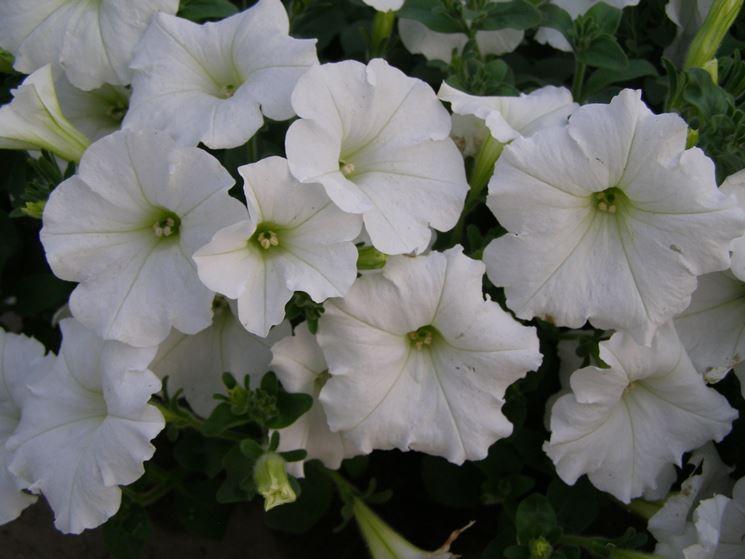 Potunia fiore