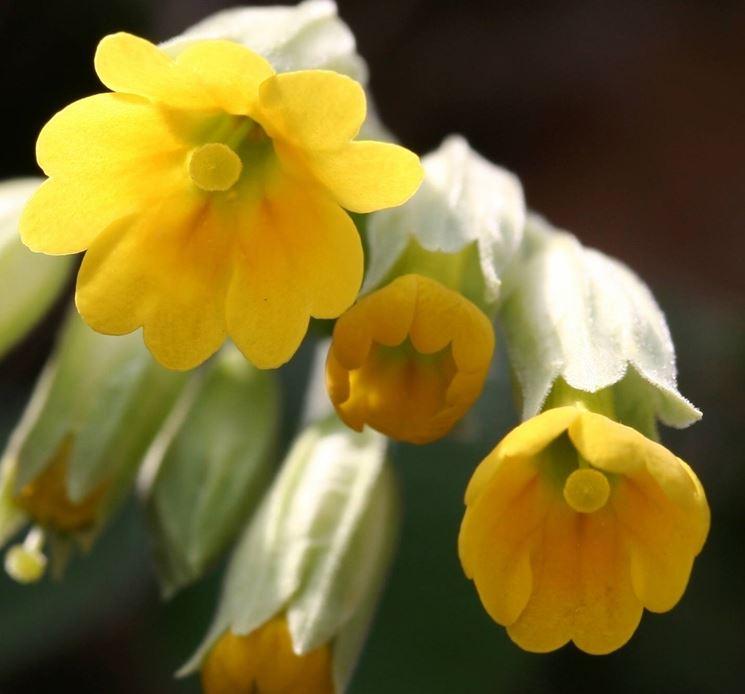 Fiore di Primula veris.