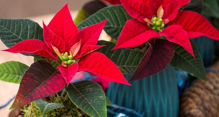 L'Euphorbia: spirito delle feste!