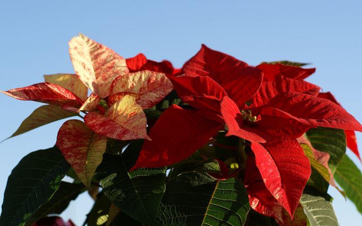 La Stella Di Natale Va Potata.Stella Di Natale Potatura Piante Annuali Potatura Stella Di Natale