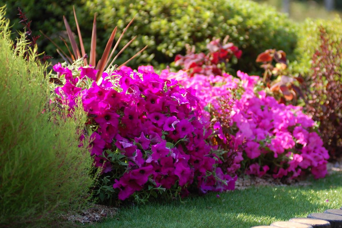 Surfinia piante annuali - Fiori da giardino primavera estate ...