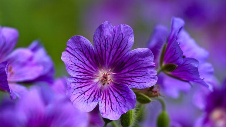 piante di violetta