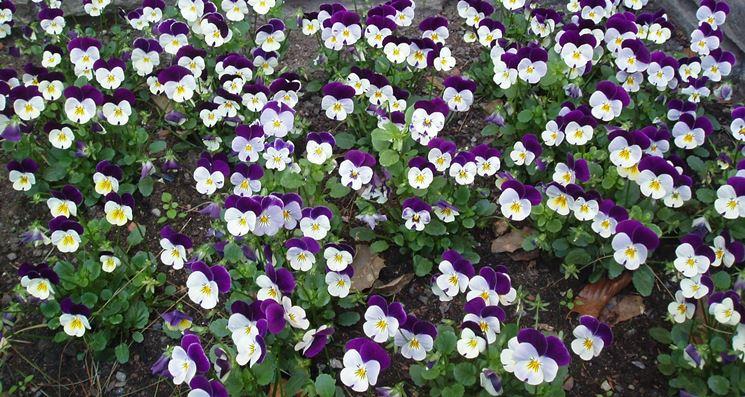 violette fiorite