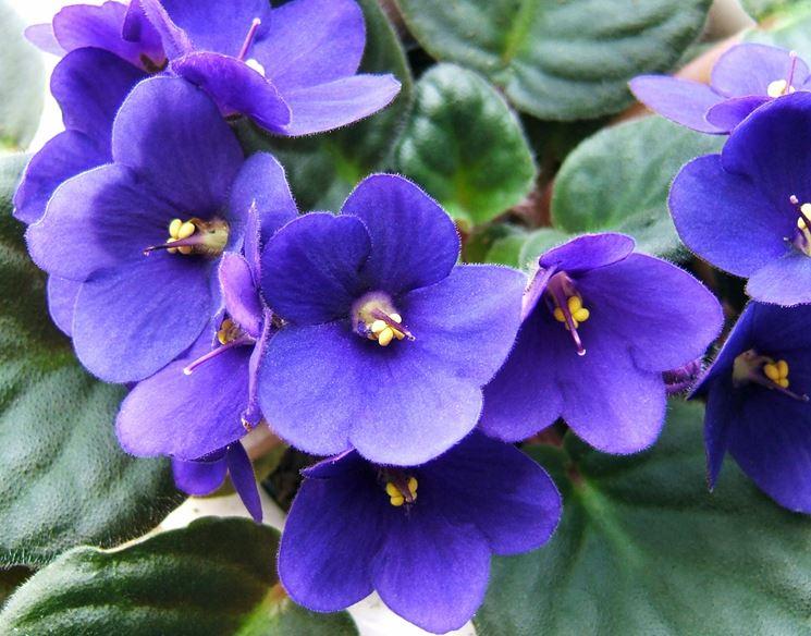 Violetta fiore piante annuali la violetta fiore di for Piante annuali
