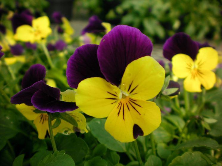 fiore violetta