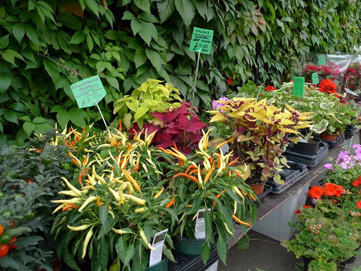 vivai piante piante annuali piante nei vivai