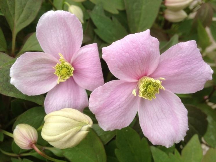 clematide montana