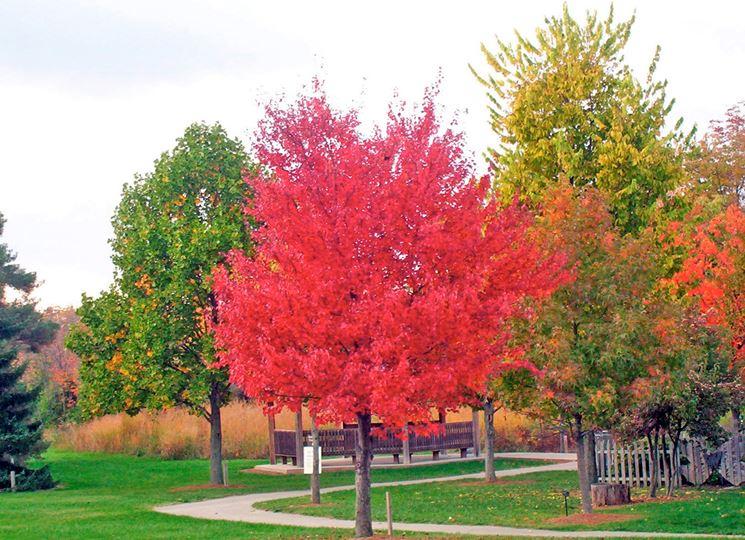 Acero rosso piante da giardino curare acero rosso for Acero rosso canadese prezzo