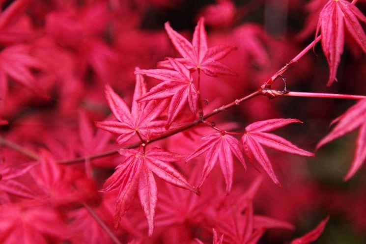 acero rosso foglia