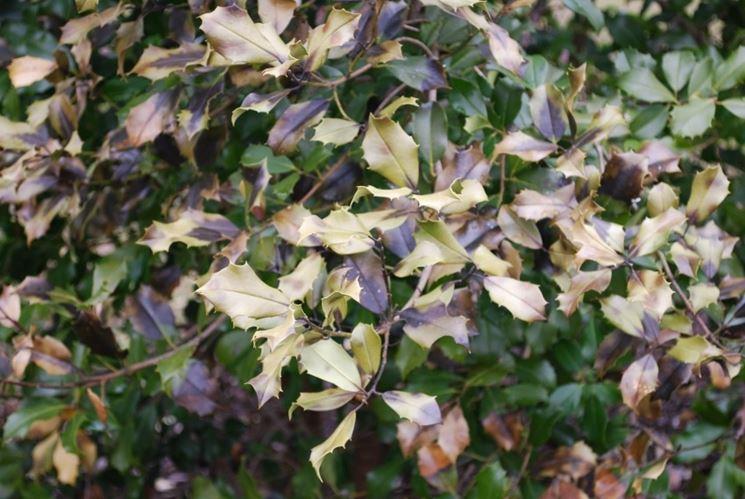 Agrifoglio foglie secche