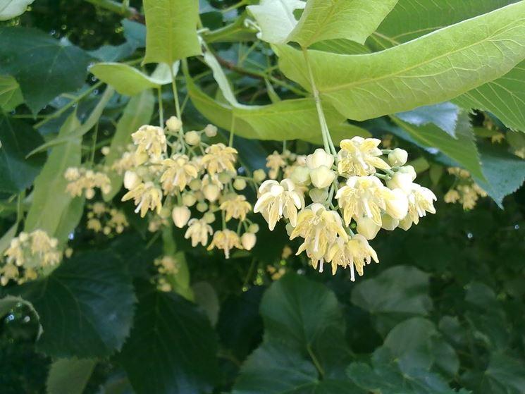 Alberi da fiore da giardino piante da giardino alberi - Piante cespugli da giardino ...