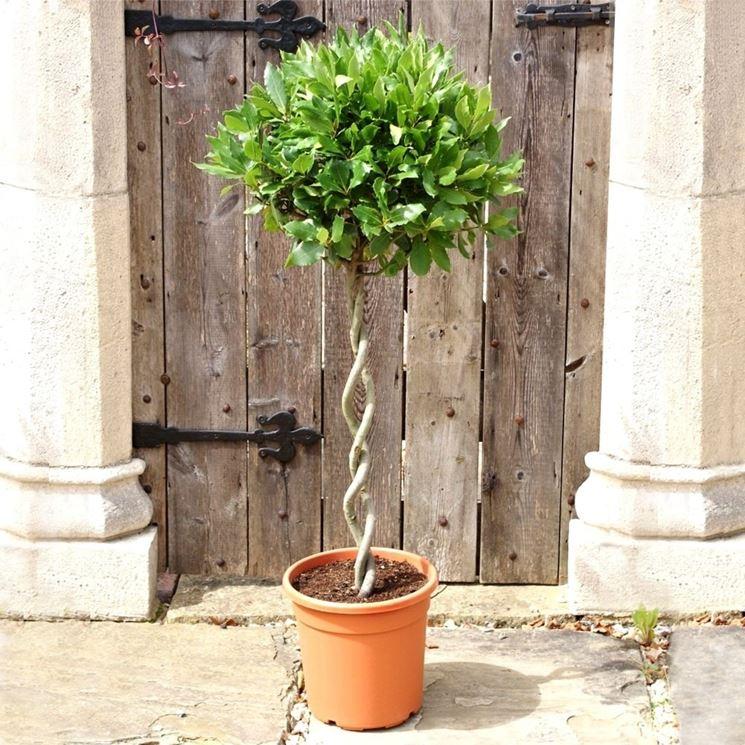 Alloro pianta piante da giardino caratteristiche della for Piante per ingresso esterno