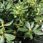 Un arbusto di azalea pronto per la fioritura