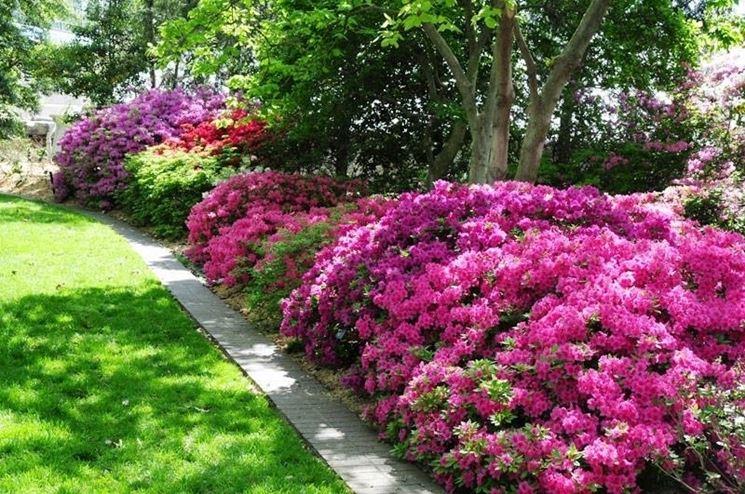 L'habitat ideale per l'azalea � in zone ombreggiate e al riparo di alberi e siepi
