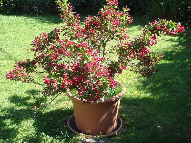 Azalea mollis piante da giardino azalea - Azalea foglie ...