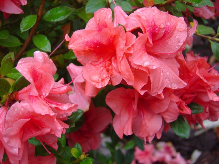 azalea fiore