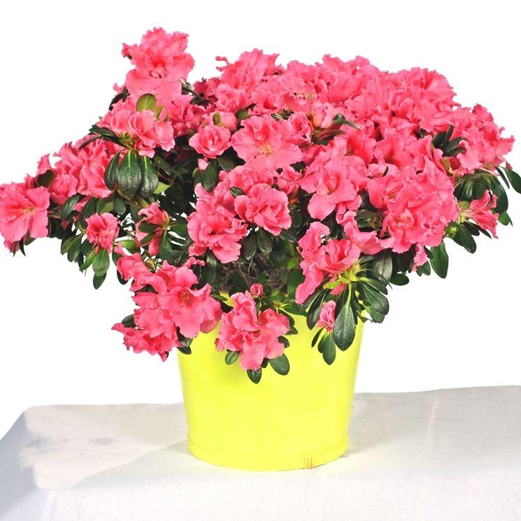 Azalee in vaso piante da giardino azalee coltivate in vaso - Azalee da esterno ...