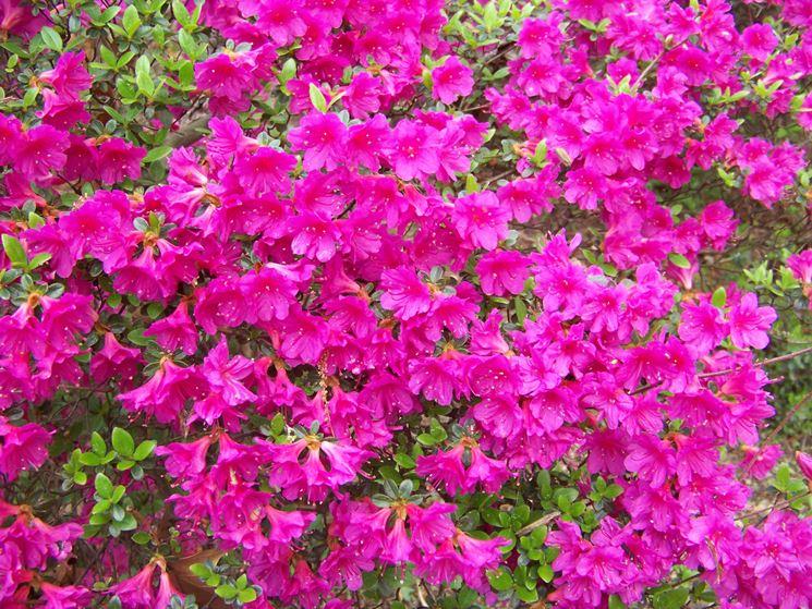 Azalee piante da giardino coltivare azalee - Azalee da esterno ...