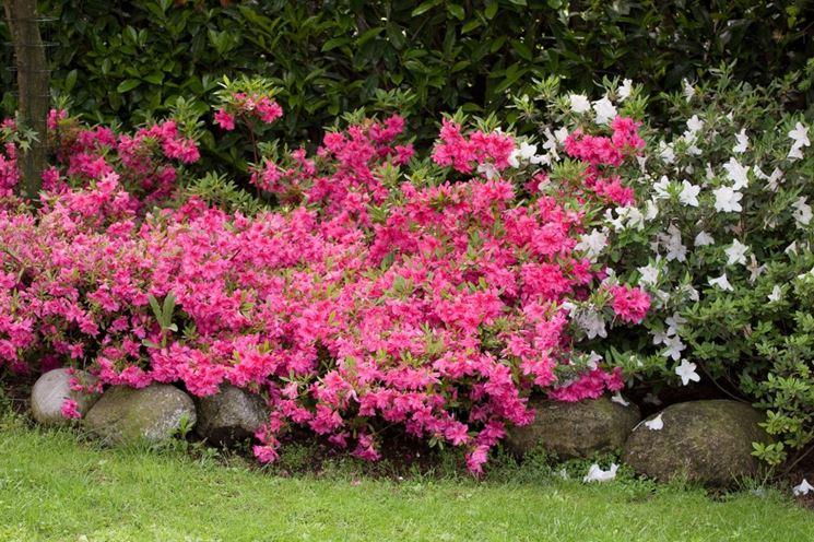 Varietà di azalee da giardino
