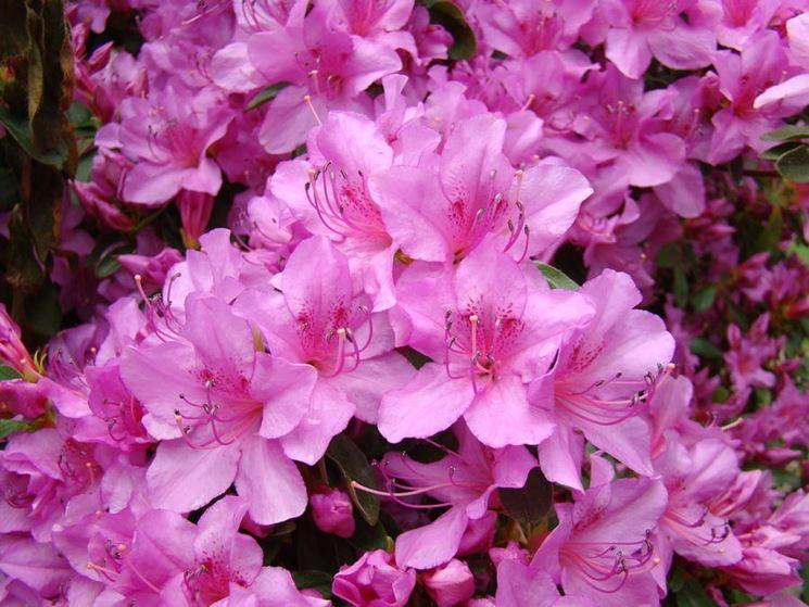 Fiore di un'azalea sana