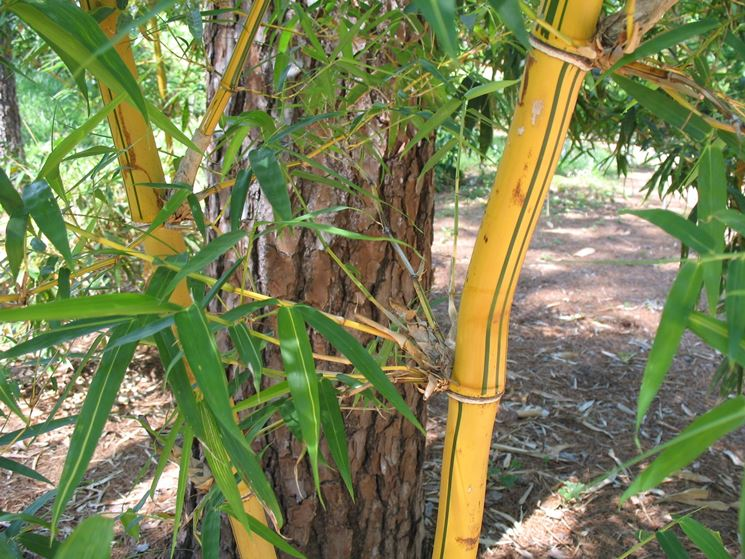 bambu giallo