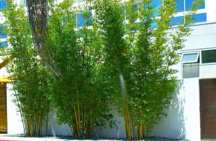 Bamb piante da giardino pianta di bamb for Bambu in vaso prezzo